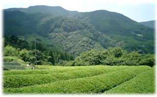 岳間の茶園.jpg